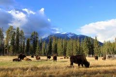 Buffalo frôlant sous Rocky Mountains Photo libre de droits
