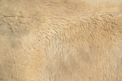 Buffalo fur texture Stock Image