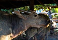 Buffalo in gabbia Fotografia Stock Libera da Diritti