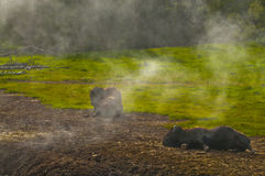 Buffalo by the Geyser Royalty Free Stock Images