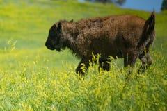 Buffalo giocante rumorosamente del bambino fotografia stock libera da diritti