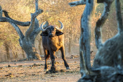 Buffalo within gnarled trees Royalty Free Stock Image