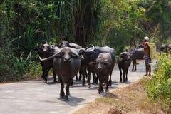 Buffalo in Goa village. Buffalos in Goa village walking on a road Stock Photography