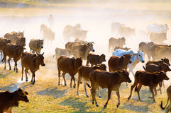 The buffalo going home in the dust Stock Photo