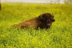 Buffalo in the grass. Royalty Free Stock Image