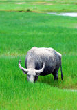 Buffalo grassing Royalty Free Stock Photos