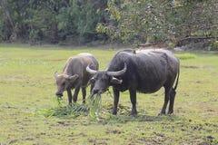 Buffalo graze Stock Photography