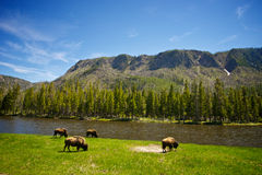 Buffalo Graze at River's Edge Stock Photos