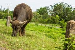 The Buffalo graze. Stock Images