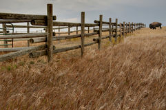 Buffalo grazes by fence royalty free stock photos