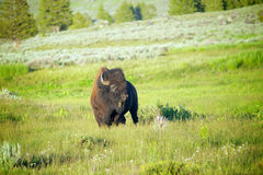 Buffalo Grazes on Grass Royalty Free Stock Photography