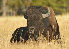 Buffalo Grazing. Buffalo laying down grazing peacefully royalty free stock image