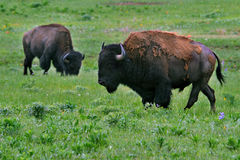 Buffalo grazing Royalty Free Stock Photo