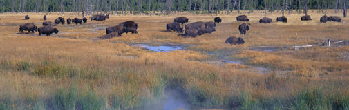 Buffalo grazing Royalty Free Stock Images