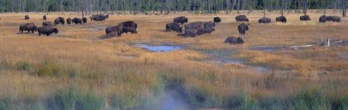 Buffalo grazing. Yellowstone National Park, Wyoming royalty free stock images