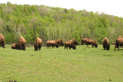 Buffalo Grazing Royalty Free Stock Photography