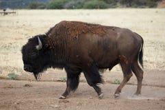 Buffalo Grazing. Lone Buffalo Grazing Stock Photo