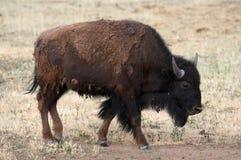 Buffalo Grazing. Lone Buffalo Grazing Royalty Free Stock Photos