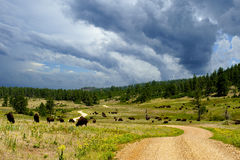 Buffalo Grazing Along a Dirt Road Stock Photo