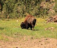 Buffalo grazing along the needles highway Stock Photography