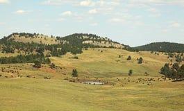 Buffalo grazing along the needles highway Stock Photos
