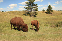 Buffalo grazing along the needles highway Stock Photography