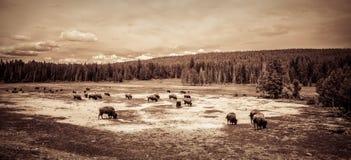 Buffalo grazing. In a field Stock Image
