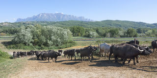 Buffalo grazing in a field. Campania, Italy, Europe Royalty Free Stock Images
