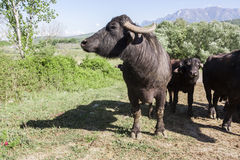 Buffalo grazing in a field. Campania, Italy, Europe. To understand a conception of agriculture and industrialization Stock Image