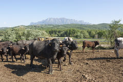 Buffalo grazing in a field. Campania, Italy, Europe. To understand a conception of agriculture and industrialization Stock Photos