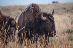Buffalo Royalty Free Stock Image