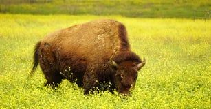 A buffalo grazing in the grass. Stock Photo
