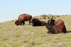 Buffalo grazing royalty free stock photos