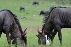 Buffalo grazing. A herd of buffalo grazing in the fields at the Rhino & Lion Reserve in South Africa stock photography