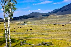 Buffalo grazing in Lamar Valley royalty free stock images
