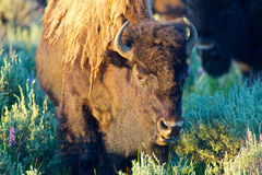 Buffalo Grazing in Meadow Royalty Free Stock Photos