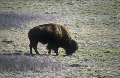 Buffalo grazing at National Bison Range near Dixon MT, Mission Range Mountains Royalty Free Stock Photos