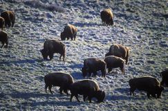 Buffalo grazing at National Bison Range near Dixon MT, Mission Range Mountains Stock Photo