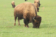 Buffalo grazing Stock Images
