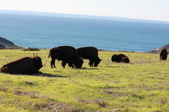 Buffalo grazing near ocean royalty free stock image