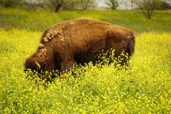 Buffalo grazing. Royalty Free Stock Images