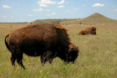 Buffalo Grazing On Prairie. In Texas stock photo