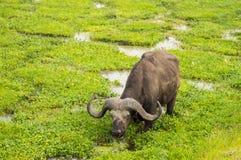 Buffalo grazing in the savannah swamps. Of Amboseli Park in Kenya Stock Photo