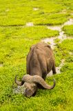 Buffalo grazing in the savannah swamps. Of Amboseli Park in Kenya Royalty Free Stock Photos