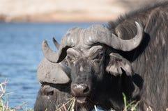 Buffalo Grazing on Sidudu Island Royalty Free Stock Photos