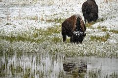 Bison in snow. Buffalo grazing in the snow in Yellowstone National Park stock photo