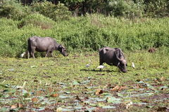 Buffalo grazing in Swamp Stock Images