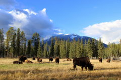Buffalo Grazing Under the Rocky Mountains Royalty Free Stock Photo