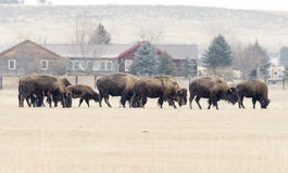 Buffalo Grazing in the Winter Snow Royalty Free Stock Photos