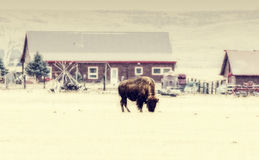 Buffalo Grazing in the Winter Snow Stock Photo
